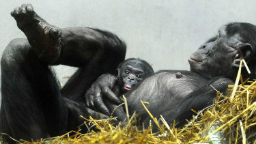 Frans de Waal says mature chimps appear capable of self-reflection, sensitivity and remorse.