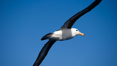 Small transceivers will be mounted on albatrosses' backs.