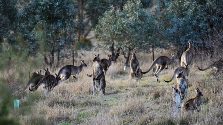 Kangaroos made up more than 90 per cent of roadkill in Canberra.