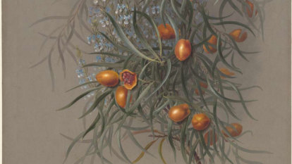 A native plant is exposing the clash between traditional knowledge and Western conventions