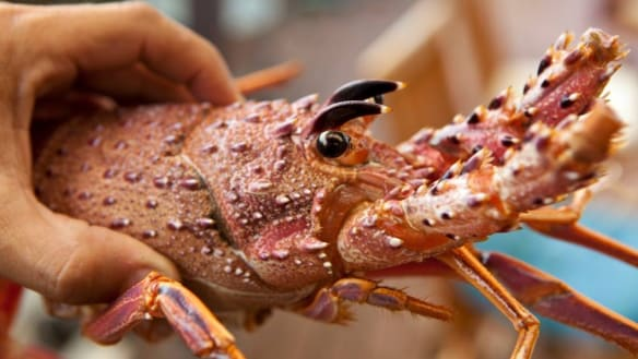 Lobster wars continue as government claims extra catches kept by fishers themselves