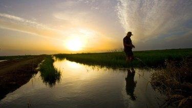A Murrumbidgee rice farmer inspects his crop.