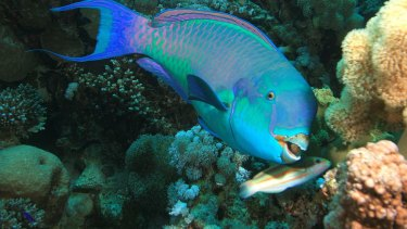Parrotfish are natural coral cleaners, and coral bleaching has gifted them a buffet of algae.