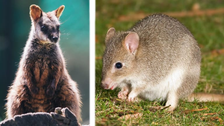 Short listed: Either the Southern Brush-Tailed Rock Wallaby, left, and eastern bettong will become the ACT's animal emblem.