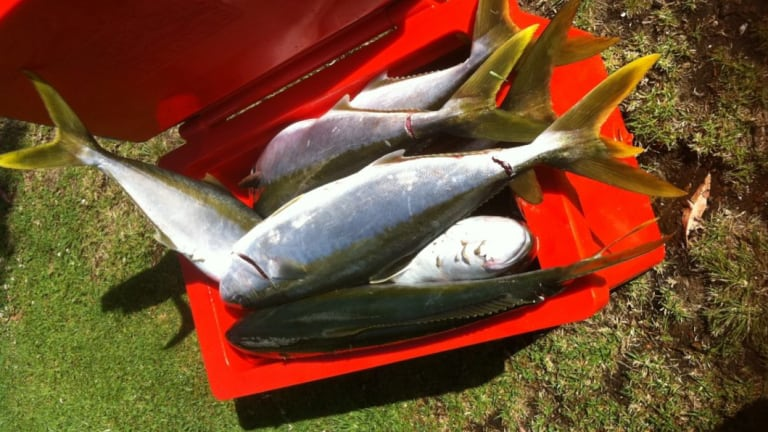Wild-caught yellowtail kingfish are now a rarity.