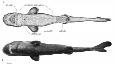 The pocket shark Mollisquama mississippiensis.