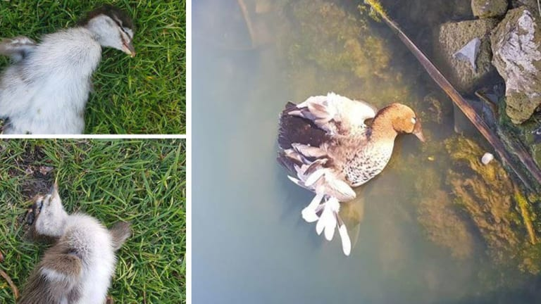 ACT Parks and Conservation is investigating a report a group of men killed a duck and ducklings on the 7th hole of Gold Creek Country Club about 5.35pm last Saturday, November 3.