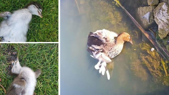 'What's wrong with people?': Ducks and ducklings killed on golf course