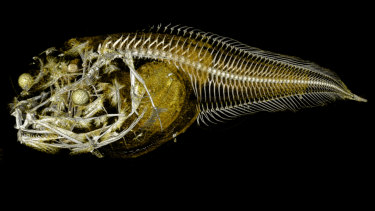 A CT scan shows the insides of one of three newly discovered species of snailfish, recently found in the Atacama Trench.