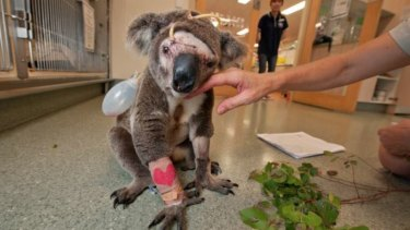 A koala injured after being struck by a car, from the Koala Crisis Facebook page.