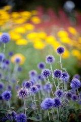 Echinops Ritro 'Veitch's Blue' from Antique Perennials.