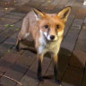 'I gave it a pat and he chomped my hand': Students bitten by fox at UNSW