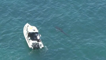 The five-metre white shark along side Fisheries 8.5 metre boat off Cottesloe beach.