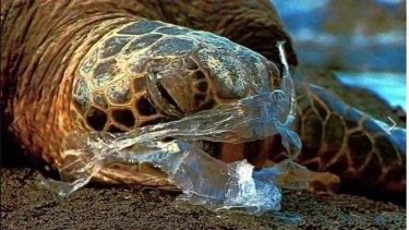 Plastic bags more than 40 years found in waterways near Moreton Bay. Turtles eat plastic bags thinking they are jellyfish, then slowly starve.