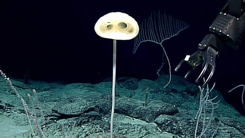 'Alien-like' creature resembling ET discovered in ancient area of Pacific seafloor