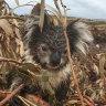 Koalas starved, says farmer accused of Portland 'massacre'