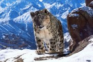 Never-before-seen visuals of the snow leopard on Planet Earth II has helped the series become one of the most talked about nature shows in recent history.
