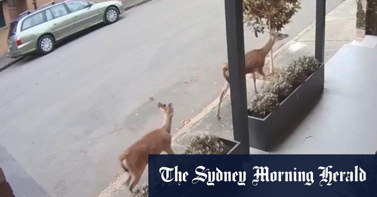 Two deer seen in Sydney's inner west – Sydney Morning Herald