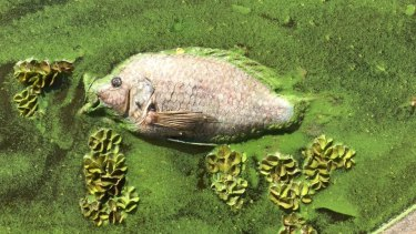 A majority of the dead fish was the pest fish tilapia.