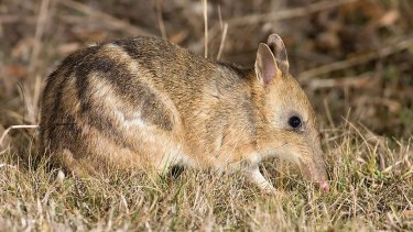 The number of eastern barred bandicoots living in the wild has reached about 500 in Victoria now.