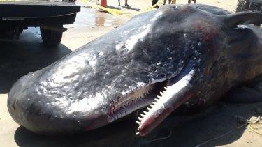 A dead female sperm whale on Grand Isle, Louisiana, last year.