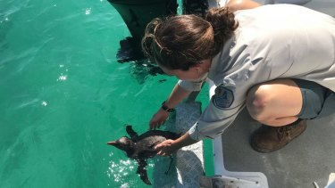 Parks and Wildlife officers working with the penguin.