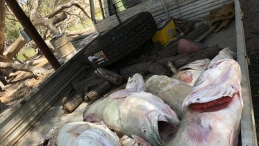 Dead Murray cod pulled from the Menindee Weir Pool amid the mass fish kill.