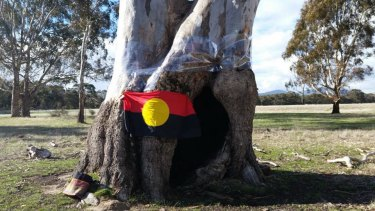 Cultural treasure: one of the trees Djab Wurrung elders say was used by generations of women to give birth in.