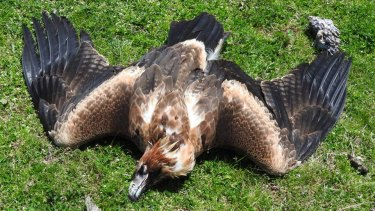 A dead wedge-tailed eagle on a property in Tubbut, East Gippsland.