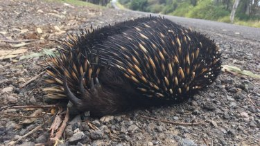 A dead echidna in Ingleburn: animals forced from their habitat first have to make it to new homes to survive.