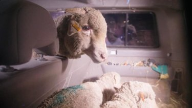 The three sheep were moved about 200 kilometres from Carey Bros abattoir to Farm Animal Rescue's sanctuary.