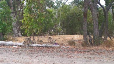 A mob of 200 kangaroos that were set to be killed to make way for development in Baldivis.