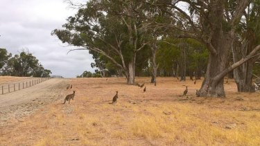 The fenced in kangaroos in Baldivis were planned to be euthanised.