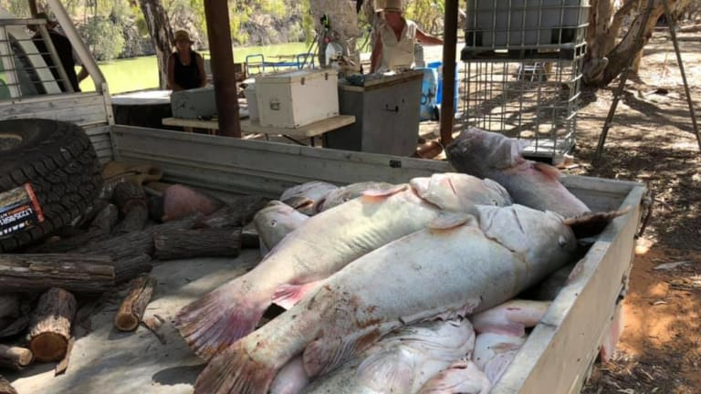 Some of the fish collected from the Menindee Weir Pool in far west NSW.