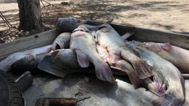 Some of the fish collected from a mass kill in the Menindee Weir Pool in far west NSW.