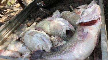 Dead Murray cod pulled from the Menindee Weir Pool this week, amid the mass fish kill.