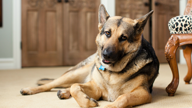 Dogs can experience separation anxiety