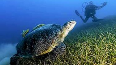 Seagrass is a vital habitat and food source for turtles and dugongs - and also a major carbon sink.