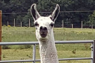 Fifi, the llama the University of Reading used to develop nanobodies.