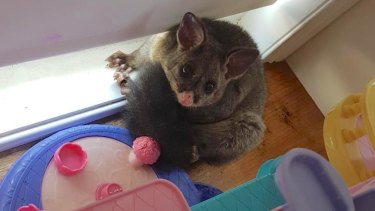 The cheeky possum Katie Carlisle returned from a night away to find in her children's playroom.