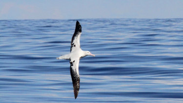 A wandering albatross photographed off the NSW coastline by bird watchers.