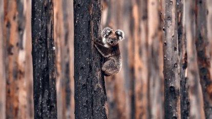 'How good were koalas?': A national treasure in peril