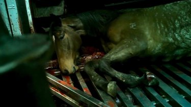 A racehorse in a slaughterhouse.