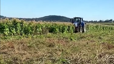 Illegal $40 million tobacco-growing operation discovered west of Brisbane
