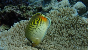 Butterflyfish lost their favourite source of food during mass coral bleachings in 2015-16, with subsequent important changes of behaviour.