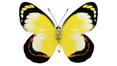 Mangrove Jezebel butterfly, which feeds off a poisonous mangrove, the sap from which can temporarily blind a human eye.