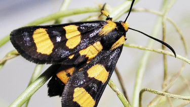 The Mimetic whistling moth, not seen for 120 years and discovered by ANU researcher Michael Braby.