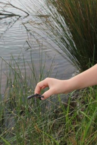 Baby turtles found by Celia Kneen on the block at Holder being released into a nearby pond.