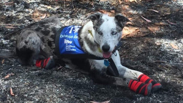 Bear, the koala-detection dog, wearing his protective socks on the scorched earth at Cooroibah last week.