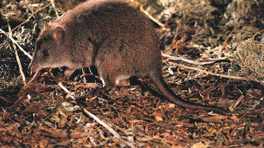 The long-footed potoroo is among 70 animal species that had more than 30 per cent of their habitat burnt.